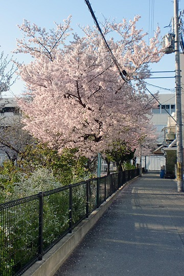 長堂公園の桜