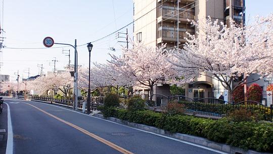 長瀬側沿いの桜