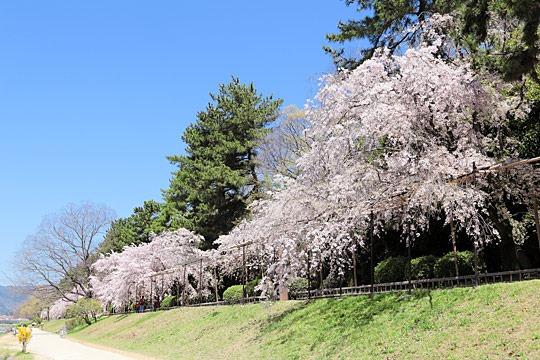 京都 半木の道のしだれ桜