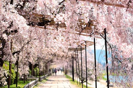 京都半木の道のしだれ桜