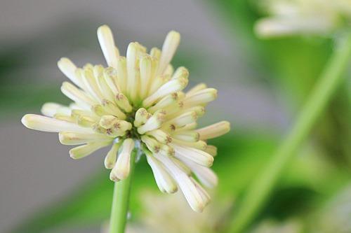 幸福の木の花よ 今夜咲いておくれ