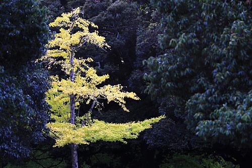 奈良公園のイチョウ