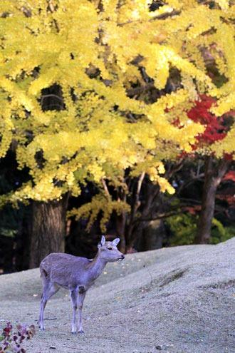 奈良公園のイチョウの黄葉