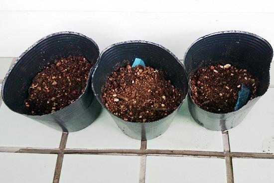 バシルを植え付け