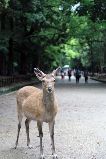 春日大社の鹿