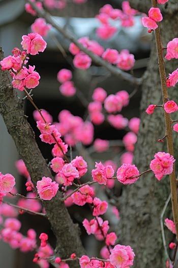 鴨高田神社の梅