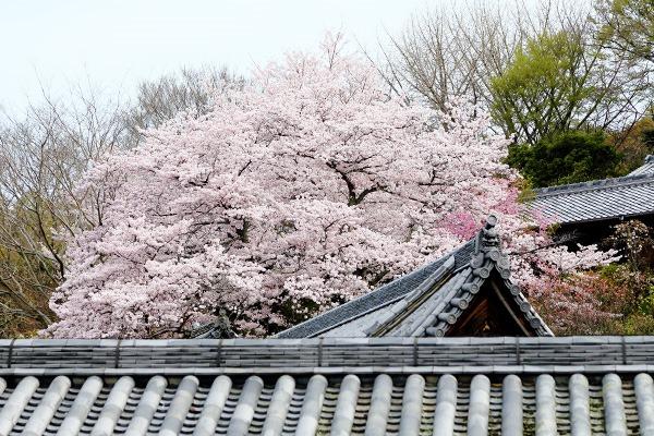 東大寺二月堂の桜
