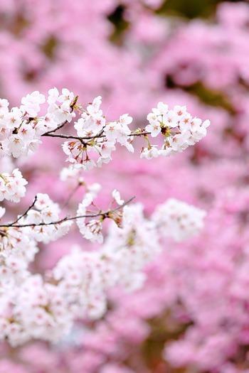 八重桜とソメイヨシノ