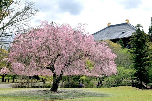 オカッパ桜と大仏殿