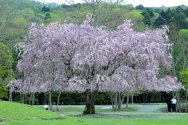 オカッパ桜