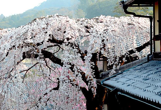 三年坂の枝垂桜