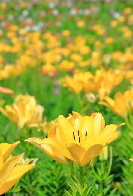 舞洲ゆり園のゆりの花