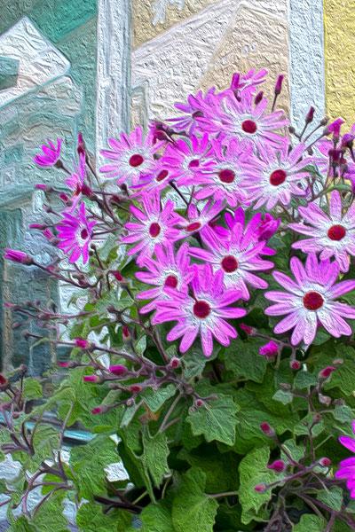 セネッティの花