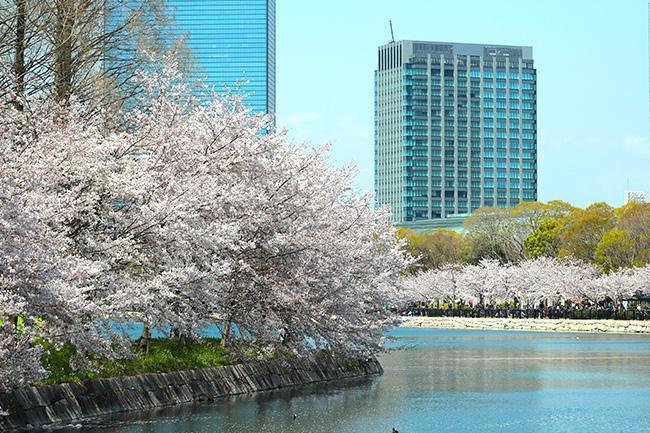 大阪の桜の名所、大阪城の桜