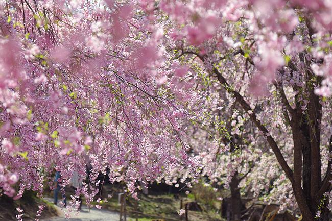 奈良県東吉野にある桜の名所「高見の郷」