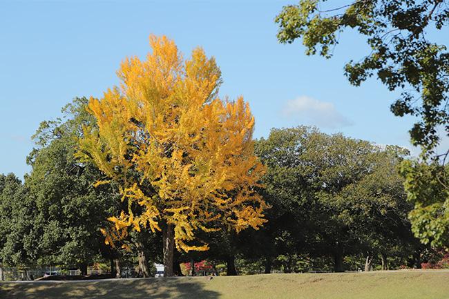 奈良公園の色づいた銀杏
