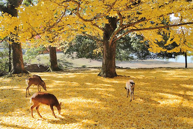 イチョウの黄色い秋・黄葉と鹿