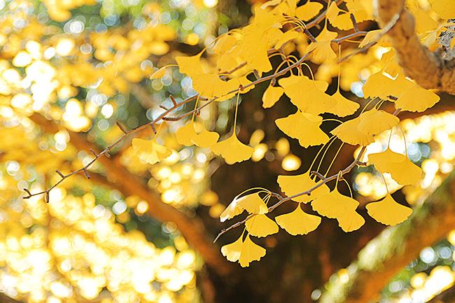 イチョウの黄色い秋・黄葉