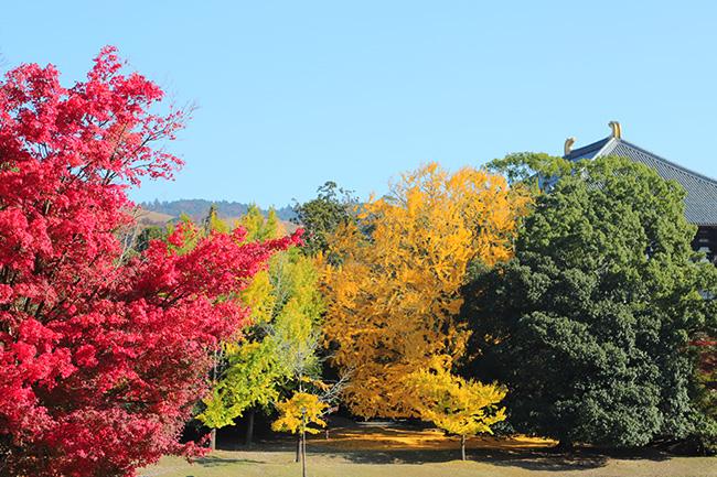 イチョウの黄葉とモミジの紅葉と大仏殿