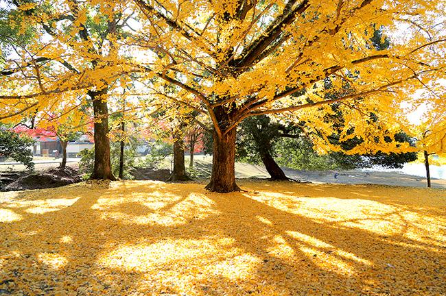 イチョウの黄色い絨毯