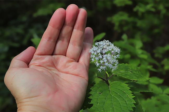 コアジサイ・小紫陽花の大きさ